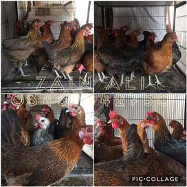 Golden masree Hens Available In Different Colours