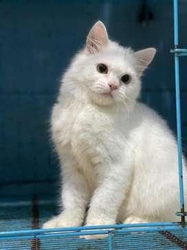 Kucing persia white