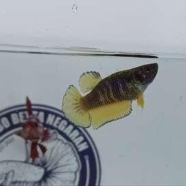 Ikan Cupang Betta Plakat Mustard Gass Usia 3,5 Bulan