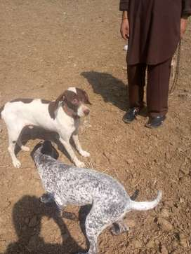 Pointer pair for sale