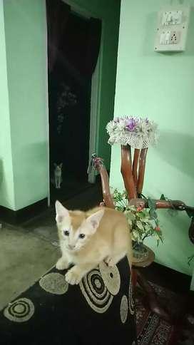 Baby Male Kitten