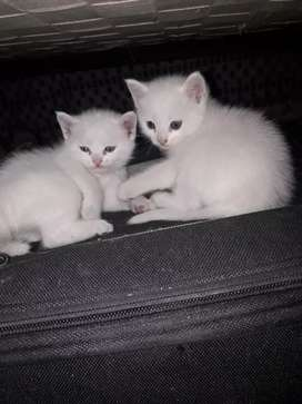 White colour male persian cats double coated