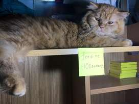Persian cat available for mating(crossing)