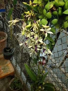 Imported Orchids
