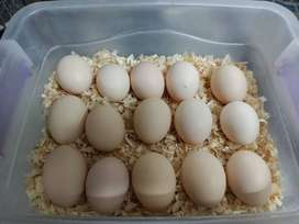 Australorp Fresh and Fertile Eggs