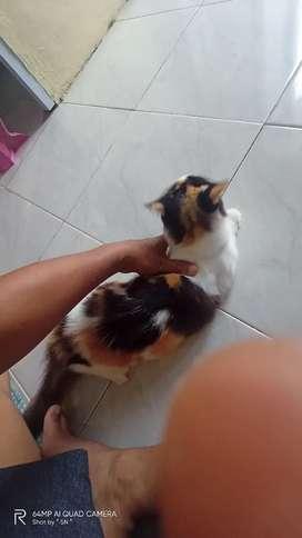 Lepas adopt kucing anggora