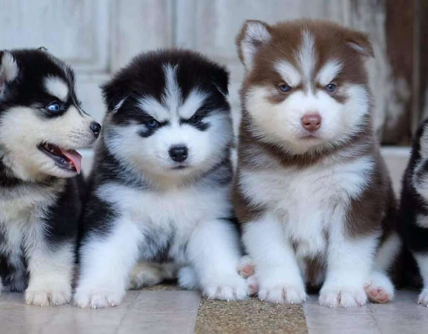 Top quality siberian husky puppies from imported and champion parents 0