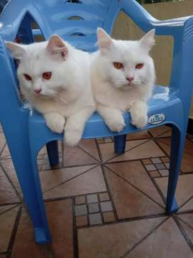 want to sell male persion cat