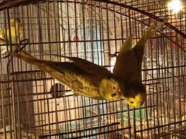 Breeder pair budgies in yellow rare color for sale