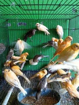 Omen canary Bandung