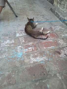 Tiger cat 4000
