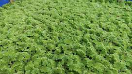 Azolla plants for sale