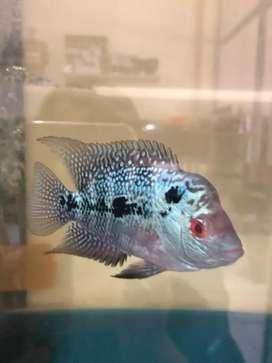 Ikan louhan SRD murah ikan lohan jenong mutiara