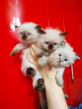 Blue eye persian kitten for sale COD Free