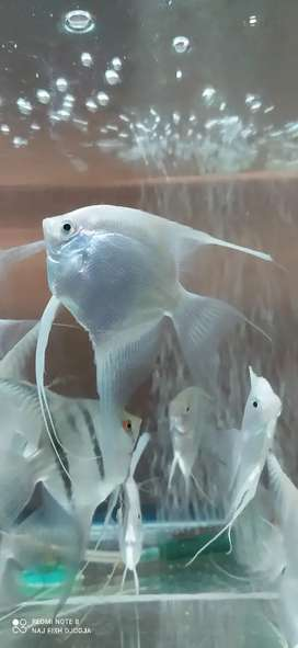 Ikan manfish platinum jumbo indukan