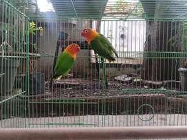 Love Bird Biola DNA Sepasang Sudah Produksi (Ada 3 Pasang)