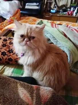 1 year old male Himalayan breed Persian cat