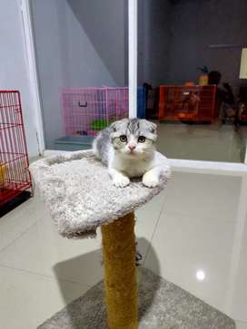 Kucing scottish fold dan bsh