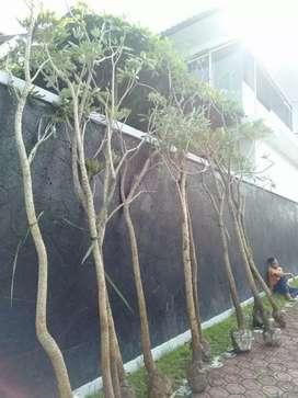 Pohon penghias jalan tabebuya bunga kuning