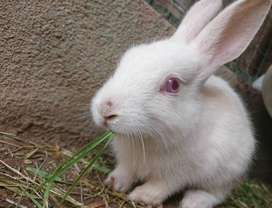 White Albino Rabbits with Red Eyes