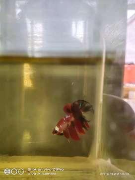 Ikan cupang  plakat  koi