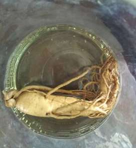 Gingseng Korea asli umur 10th
