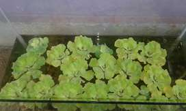 Watter lettuce