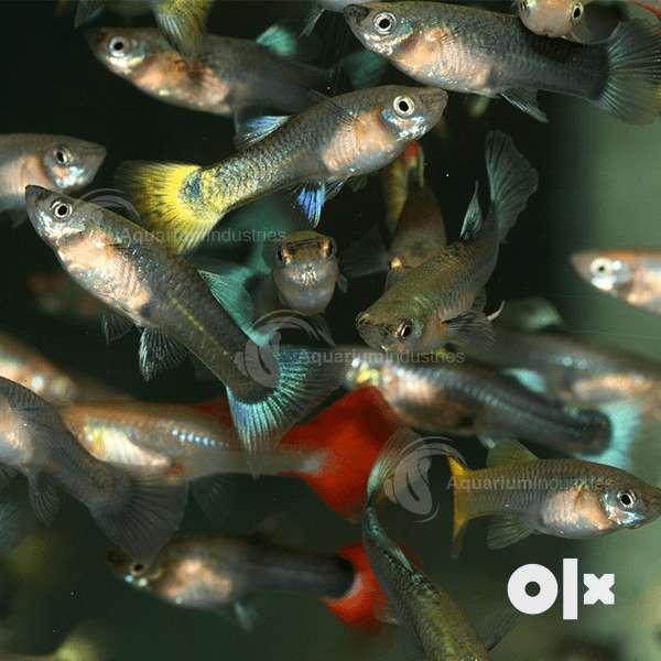 Guppy fish 0