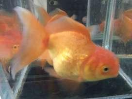 Ikan koki oranda / jambul