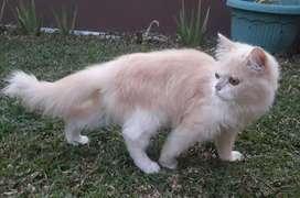 Kucing persia jantan usia 6 bulan