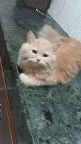 persin cat
