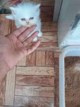 Snow white persian Male cat