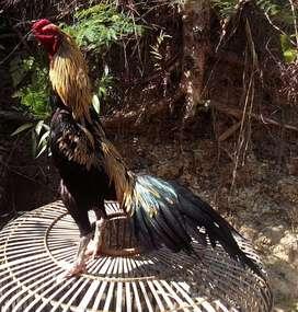 Ayam jago bangkok super best quality Jalu Merapi 792