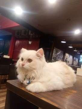 Lepad adopsi kucing persia flatnouse jantan umur 9bulan 800