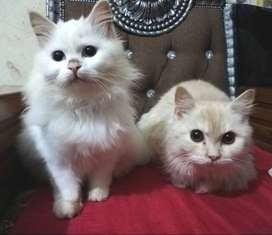 Persian Cats pair for sale urgent
