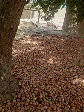 Saed paiz bech for sell
