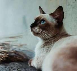 PERSIAN KITTEN AND CATS SIAMESE RAGDOLL SIBERIAN