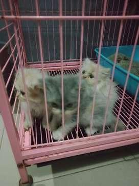 Adopsi Kucing Persia Kitten