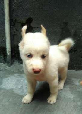 Puppy husky betina 2bln blue eyes non STB