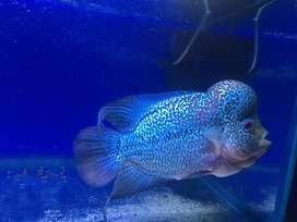 Malaysian flowerhorn fish
