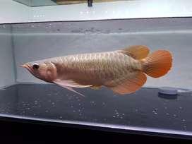 Arowana / arwana super red size -+ 30cm