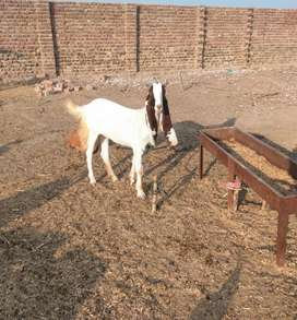 Goat for sell price 30000