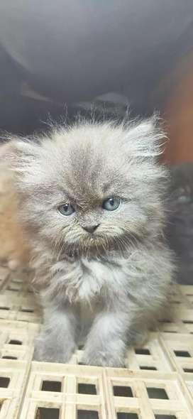 Kucing Flatnose Abu Abu 2Bulan