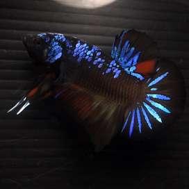 Ikan Cupang Hias Berkualitas Plakat Vampire Avatar Gordon