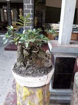 Bonsai bringin di atas batu