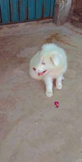 Russian male puppy for sale