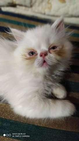 Punch face kitten