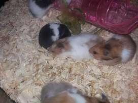 Hamster Cantik jinak Sudah Vaksin