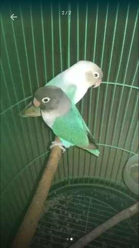 Love bird Lovebird lakbet +200 tt Jalak uren burung jalak suren