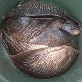 Ikan gurami konsumsi